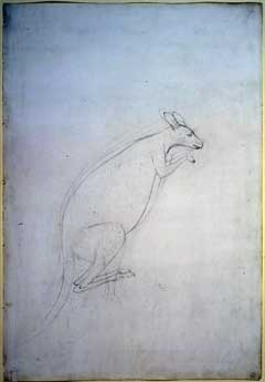 Sketch of a kangaroo