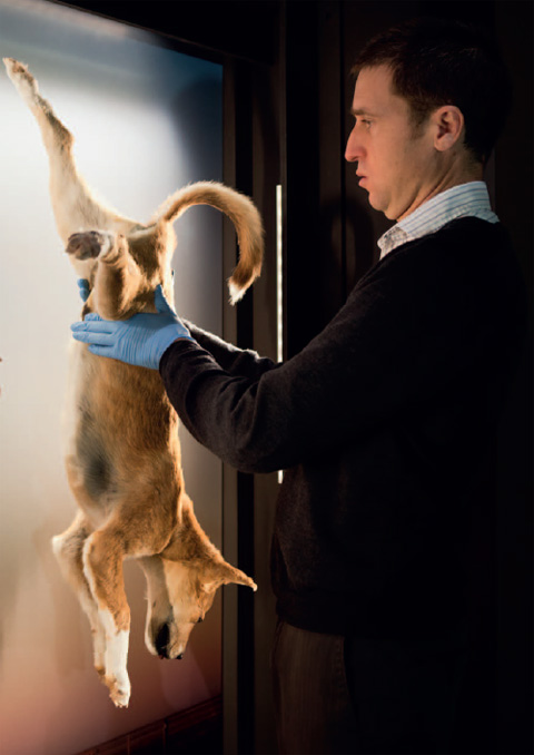Side view showing a man dressed in a striped, collared shirt and dark jumper, and wearing pale blue gloves, holding a dog ust before its rear legs. The brownish-gold dog hangs upside down from an illuminated display board.
