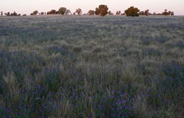 A paddock with purple flowers in the foreground.