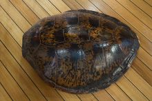 A turtle shell resting on floorboards.