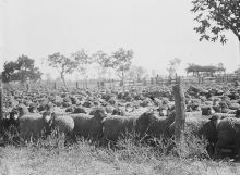 Black and white photograph of many sheep crowded into a stock yard.