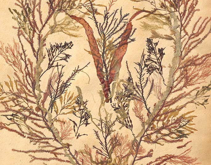 Detail of a page depicting seaweed specimens