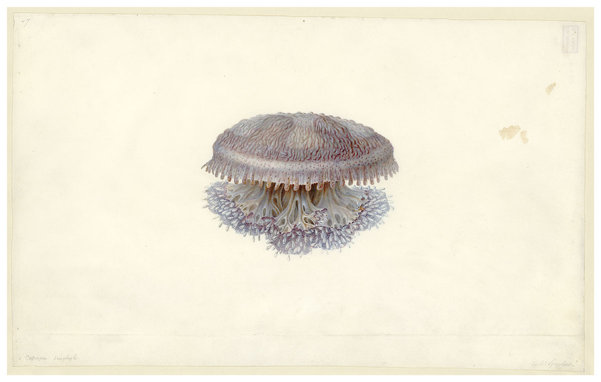 Jellyfish Cassiopea dieuphila by Charles-Alexandre Lesueur. Watercour and pencil on vellum. - click to view larger image