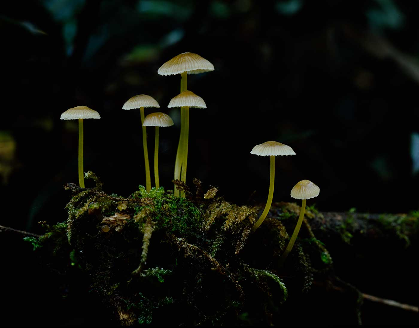 Colour photograph showing a close-up view of seven small fungi, growing from a mossy base.  - click to view larger image