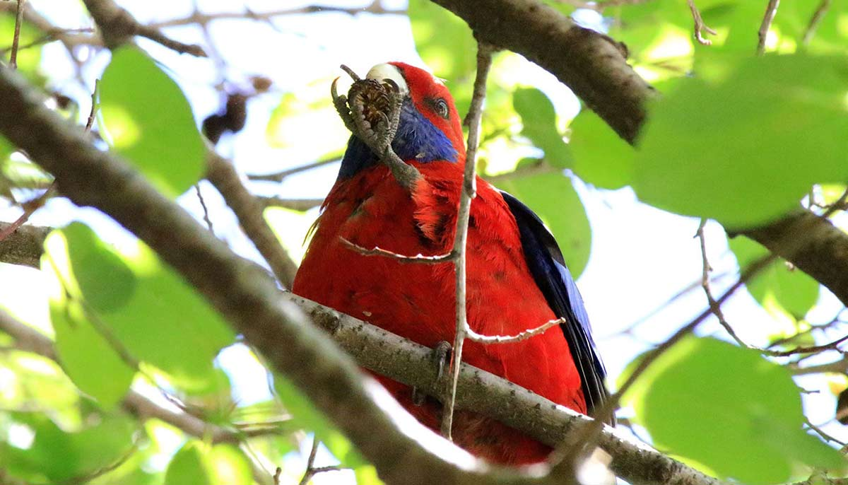 Crimson rosella. - click to view larger image