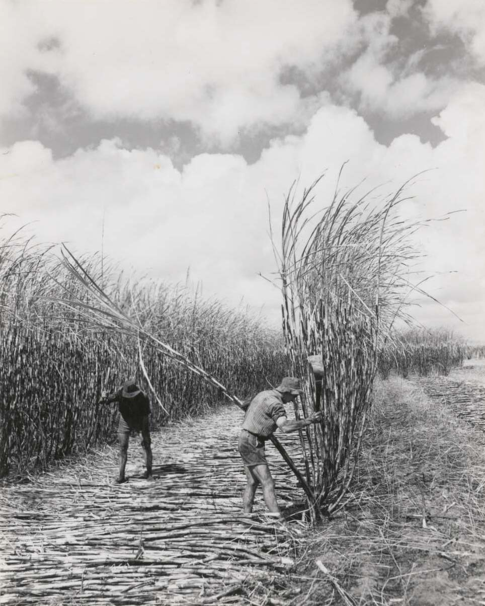 A black and white photo of two men using knives to cut tall canes in a field. - click to view larger image