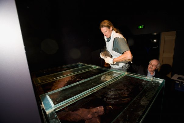 A staff member from the National Zoo and Aquarium about to place Murray in a tank of water. - click to view larger image