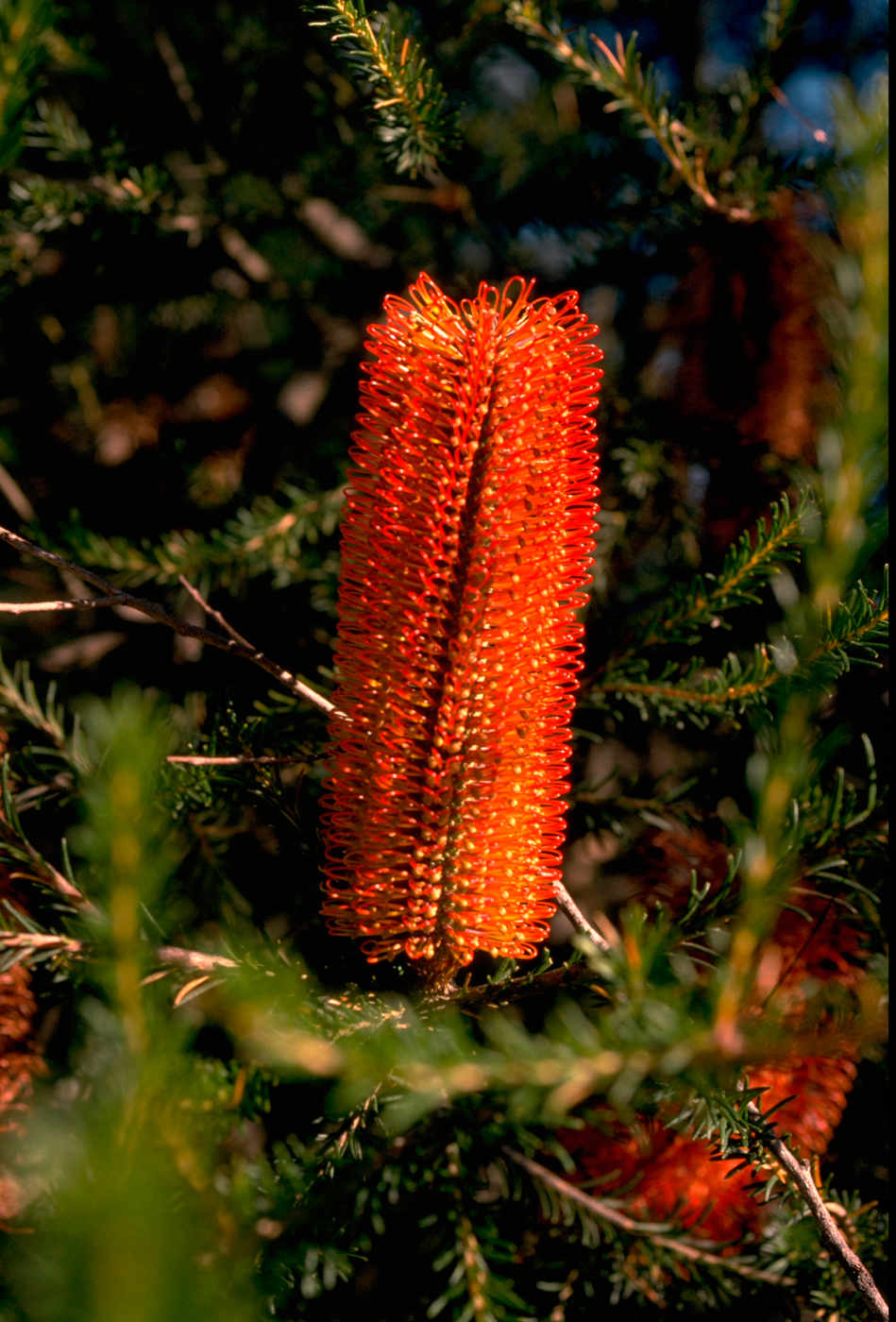 Colour photo of a bright red bottle brush flower. - click to view larger image