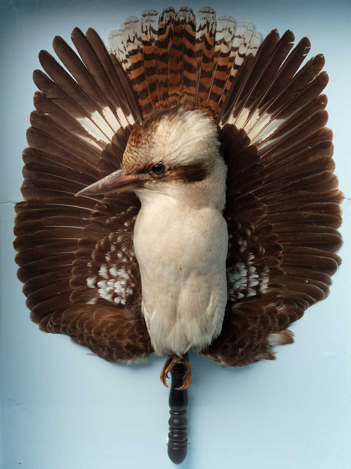 Taxidermied bird displayed with brown wings behind it in the form of a fan.  - click to view larger image