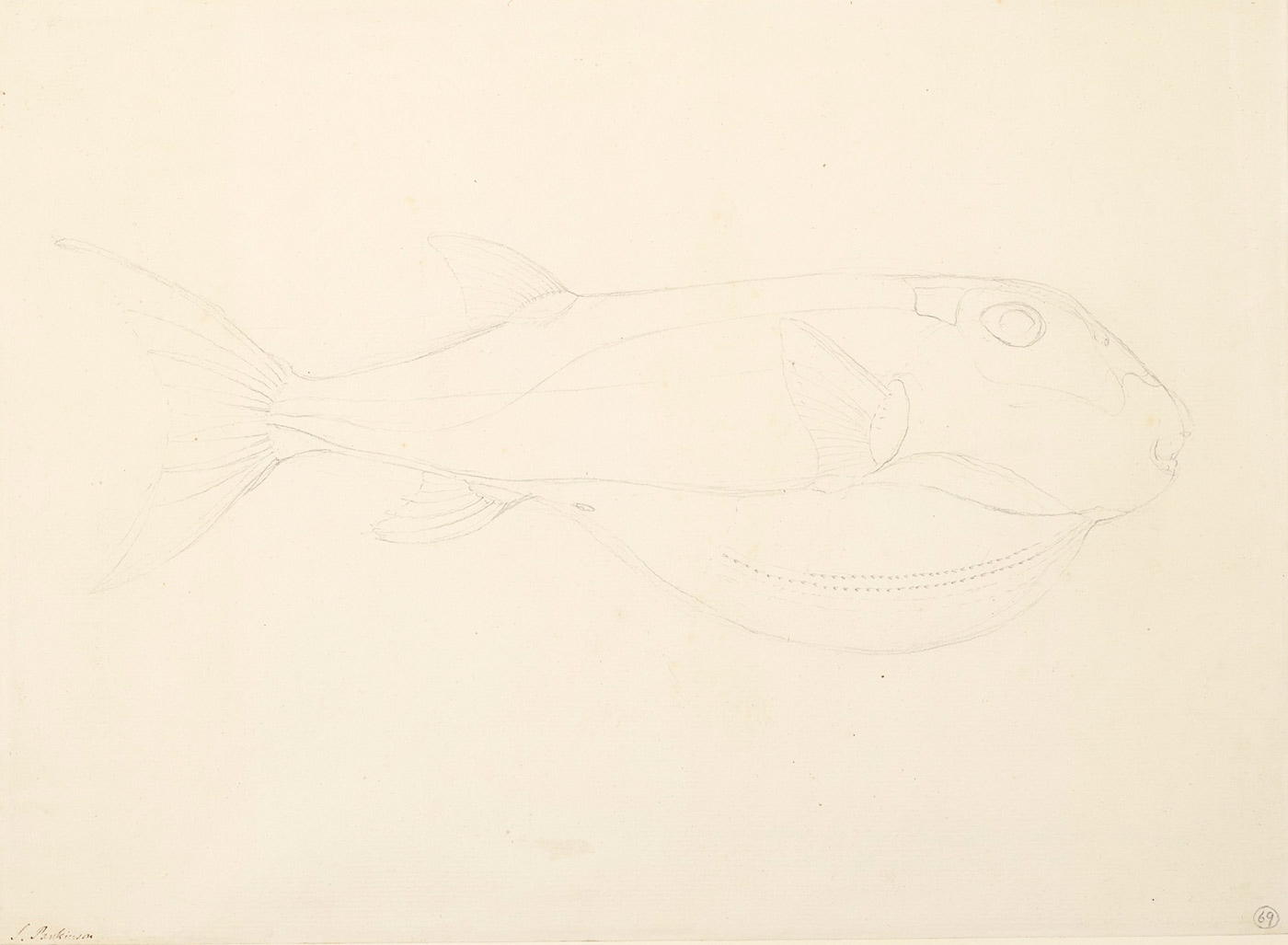 Drawing of a fish with a protruding belly area. - click to view larger image