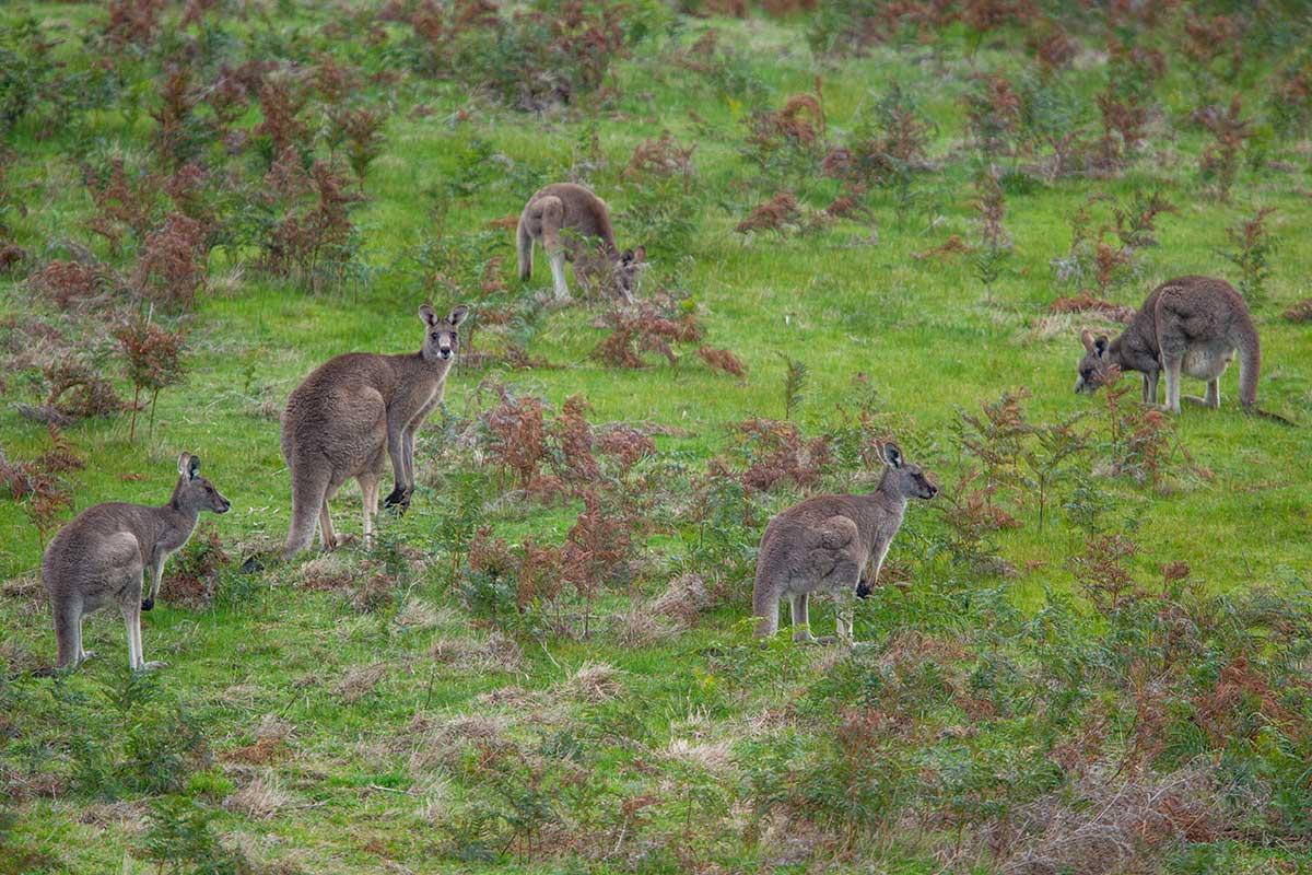 Kangaroos feeding on grass. - click to view larger image