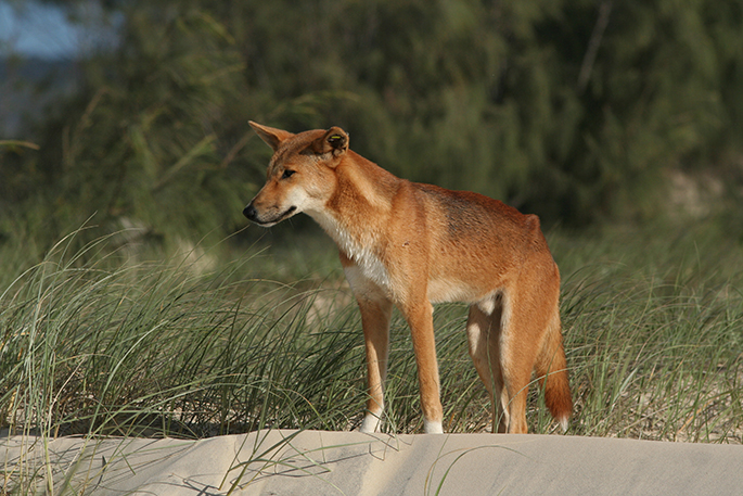 Photograph of dingo looking out from grass-covered sand.
