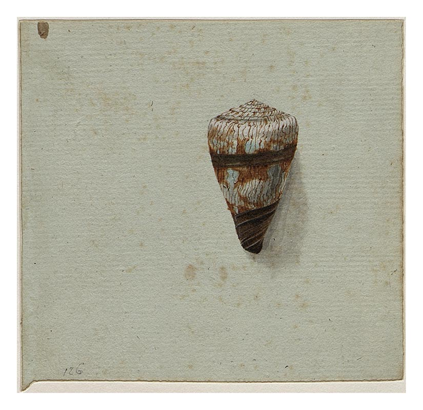 Watercolour and pencil on paper of a gastropod shell Conus miles. - click to view larger image