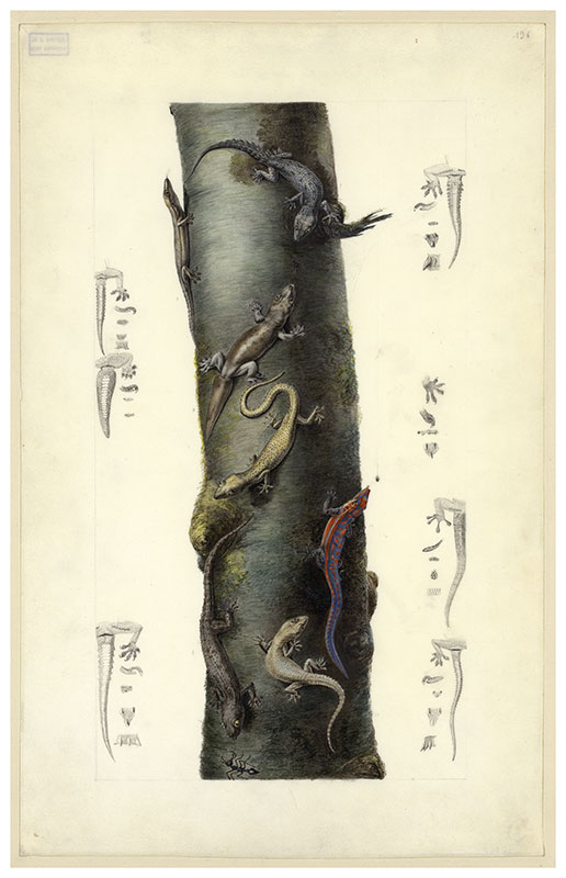 Seven lizards by Charles-Alexandre Lesueur. Watercolour and pencil on vellum. - click to view larger image