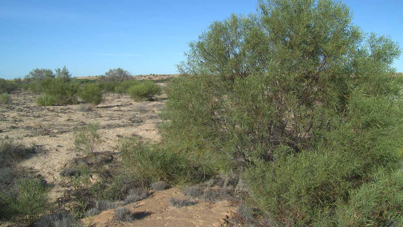 A dry landscape thinly populated with green bushes. The sky is clear blue.