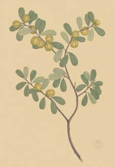 A water colour rendering of a plant on beige-coloured paper.