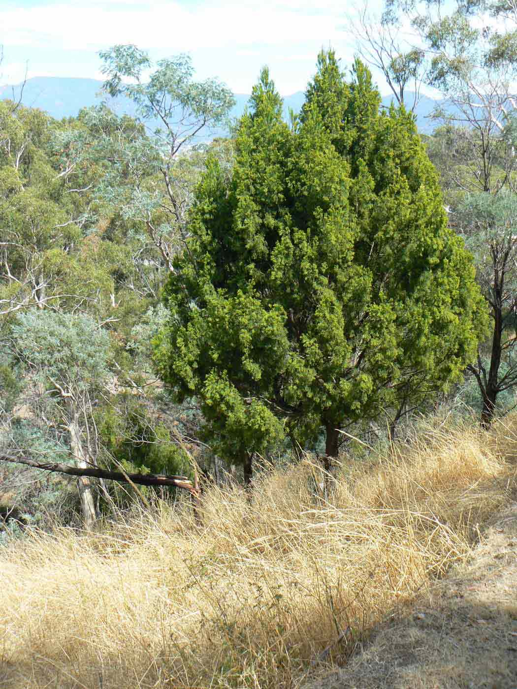 Colour photo of bushland with a tree with dense foliage standing on a slope. - click to view larger image