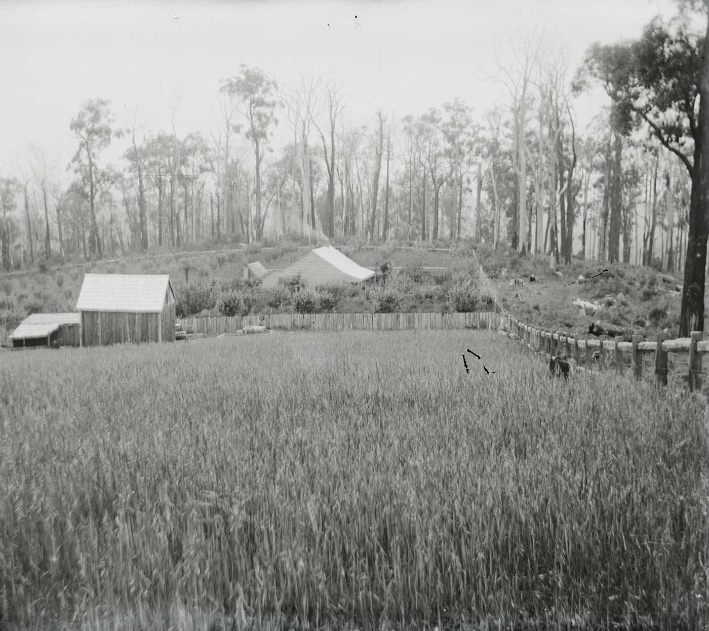 A photographic glass plate negative showing a field of tall grass with buildings and a wire fence visible in the background. The left side of the negative is damaged and a large section on the negative has peeled off the glass. - click to view larger image