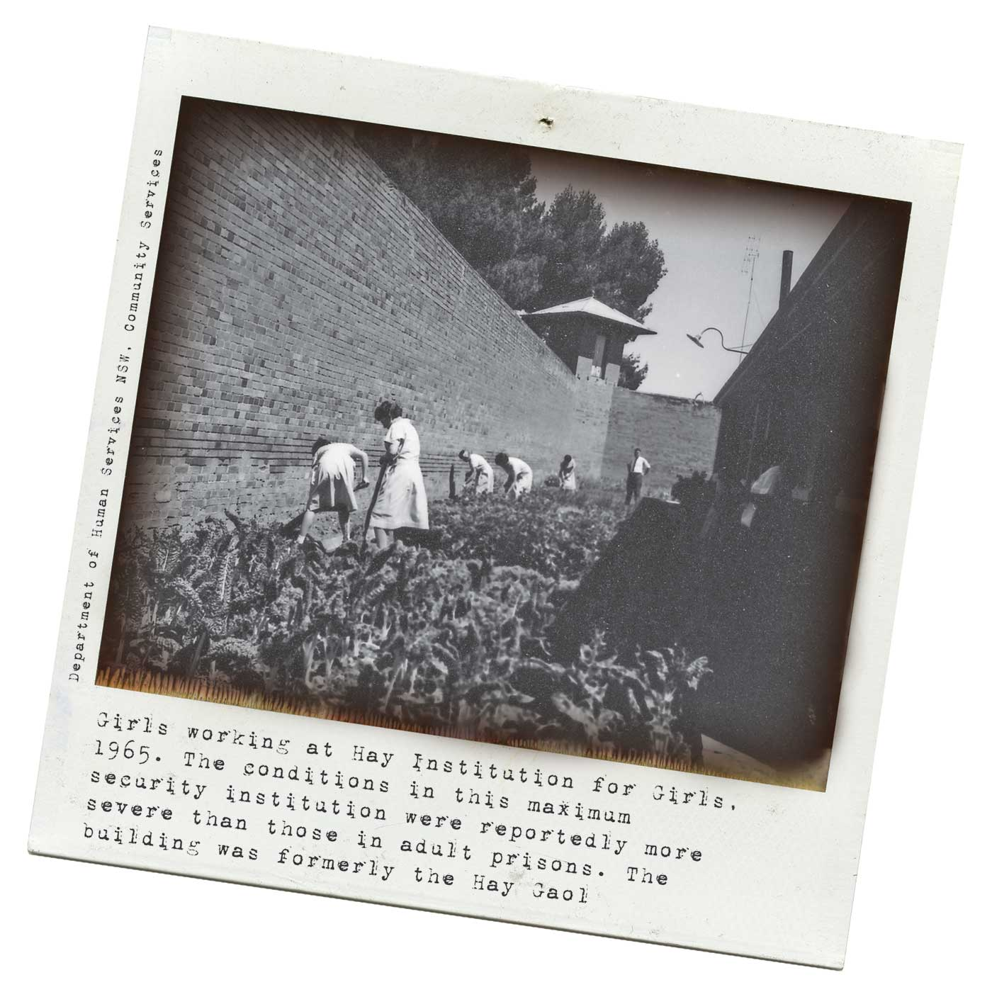 Black and white Polaroid image showing a group of teenage girls at work among a large vegetable patch inside a high bricked wall. A man stands with his hands on hips at the far end. Typed text under the photo reads: 'Girls working at Hay Institution for Girls, 1965. The conditions in this maximum security institution were reportedly more severe than those in adult prisons. The building was formerly the Hay Gaol'. 'Department of Human Services, NSW, Community Services is printed at left. - click to view larger image