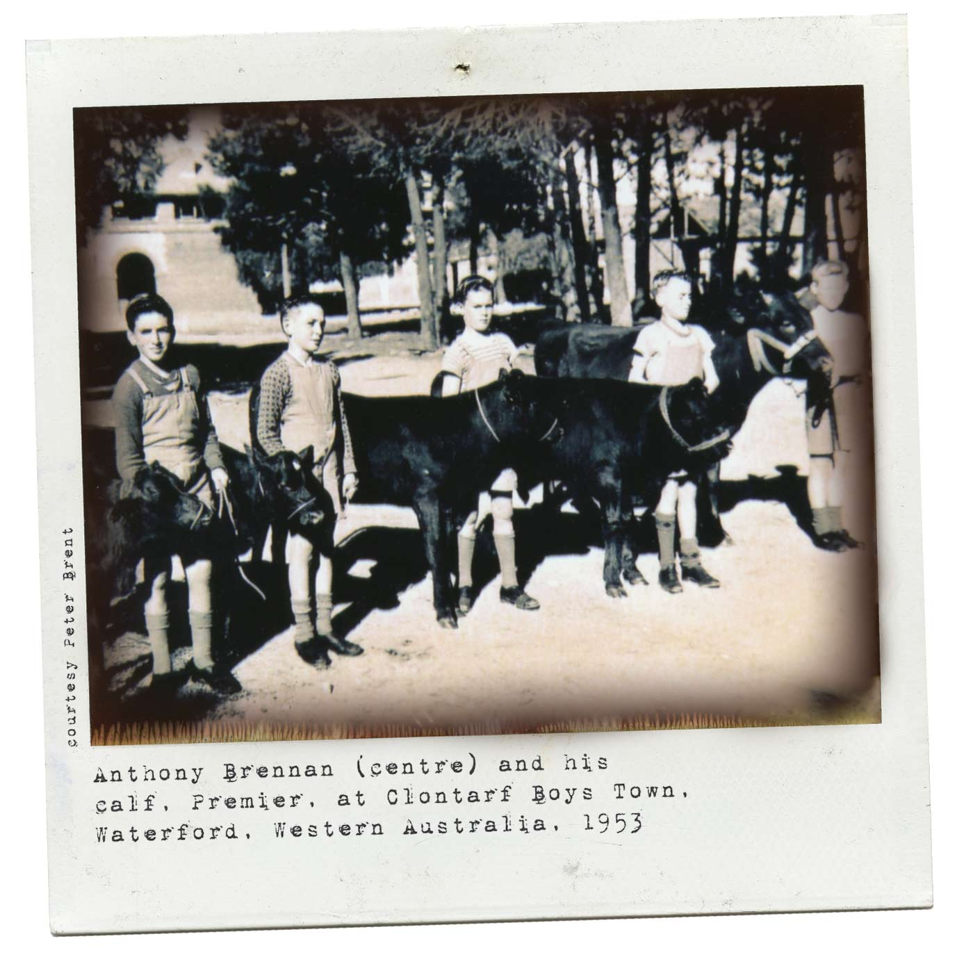 Polaroid featuring a group of boys each standing next to and holding the bridles of calves. - click to view larger image