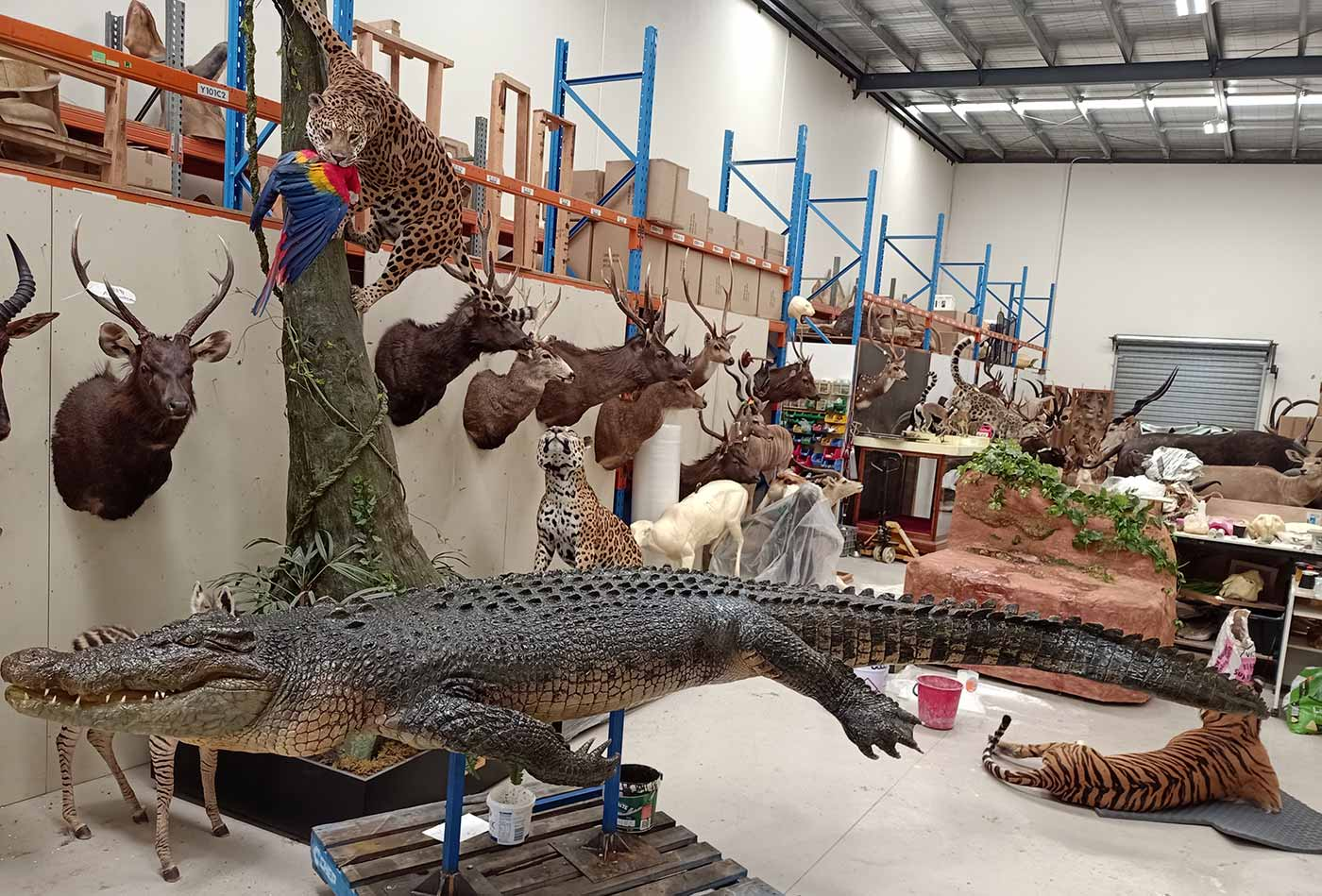 Large warehouse containing multiple taxidermy animals including a crocodile, wild cats and deer.
