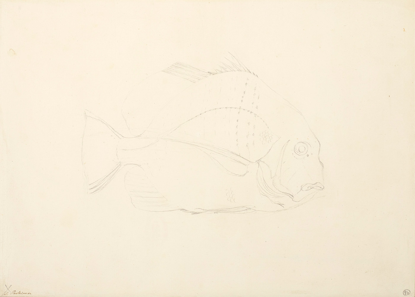 Drawing of a fish with a broad shaped body. - click to view larger image