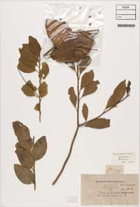 Capparis lucida specimens