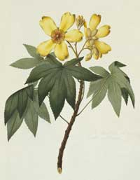 Watercolour of Cochlospermum gillivraei