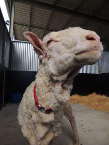 A photo of a sheep post shearing