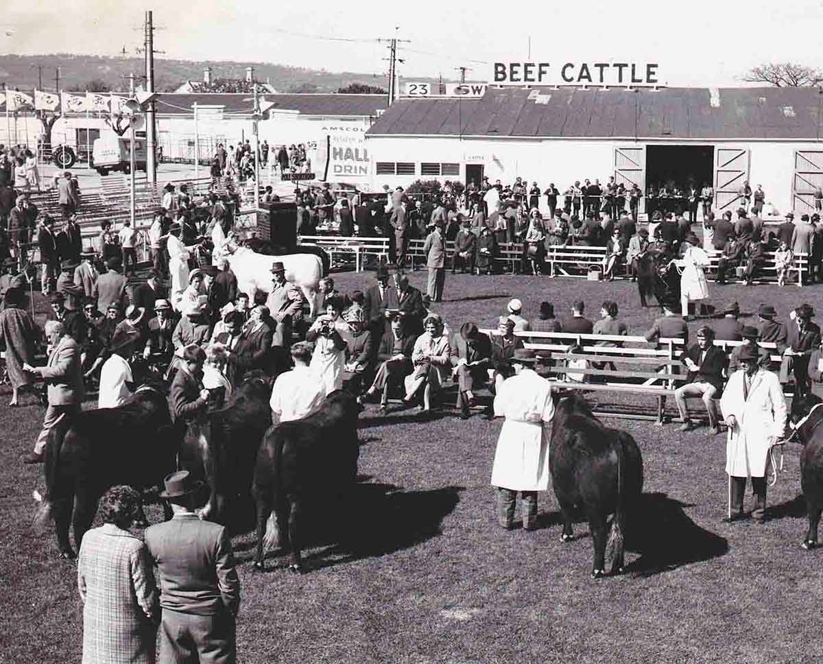 Black and white photograph of people gathered around a grass field. Several men wearing white overcoats stand beside beef cattle. Crowds of people, standing and sitting, are watching the judging. - click to view larger image