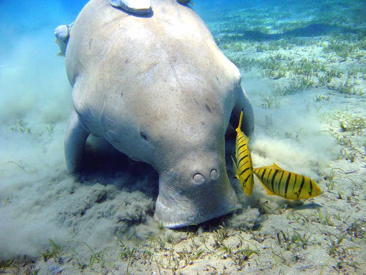 Colour photograph of a dugong grazing on sea grass. Several small fish are also visible. - click to view larger image