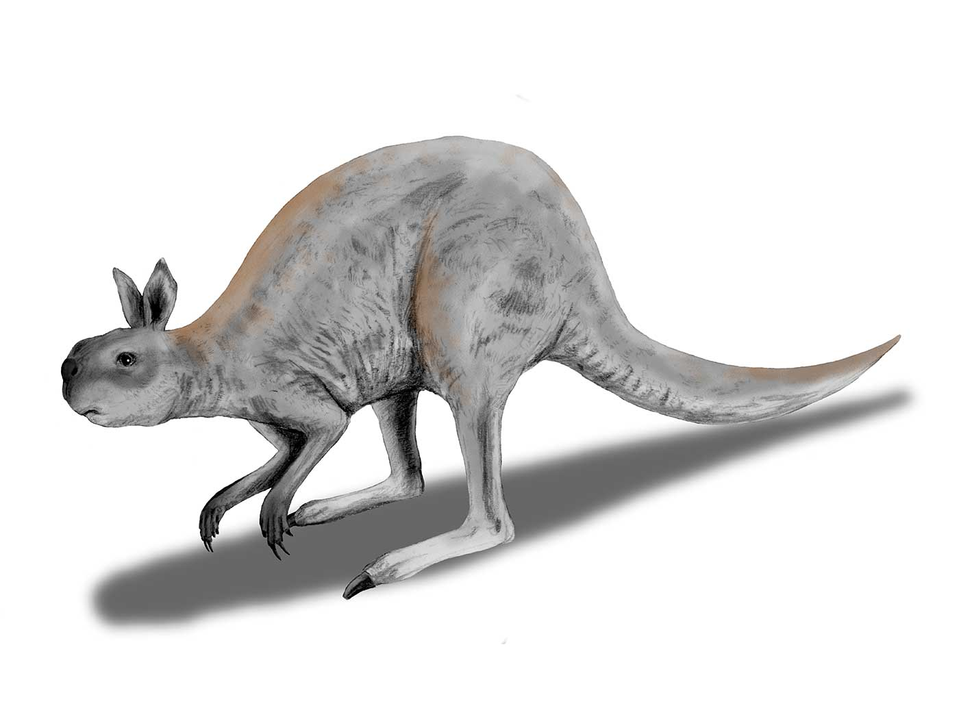 Colour illustration of a kangaroo-like animal with grey-brown fur and short, stumpy head. - click to view larger image