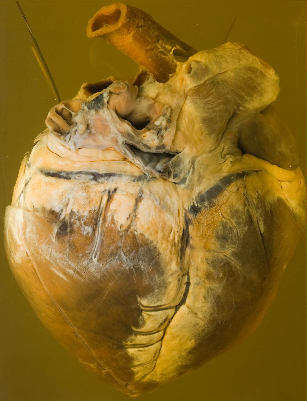 A horse's heart in a container filled with liquid - click to view larger image