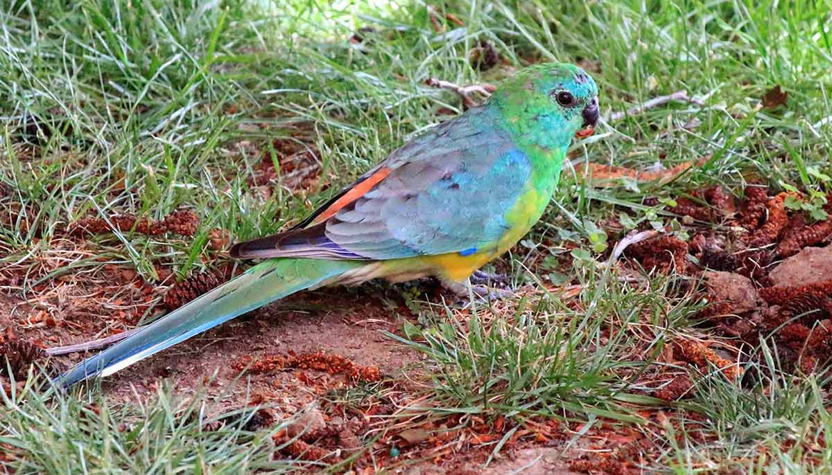 Red rumped parrot on grass. - click to view larger image