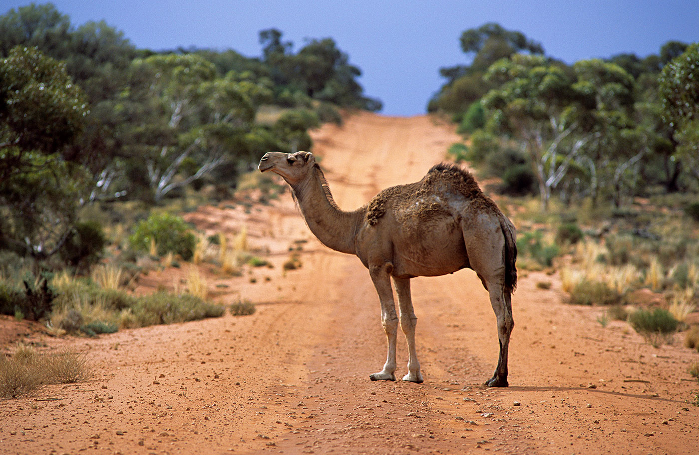 A camel stands on dirt road, with small trees and scrubland on either side.