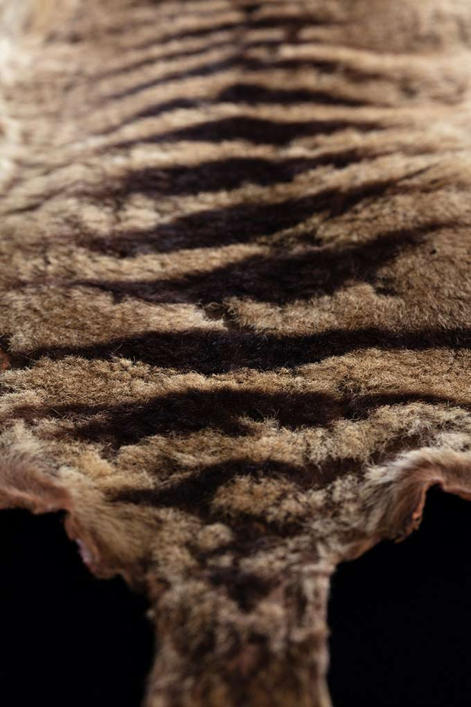 A detailed image of a thylacine's pelt. - click to view larger image