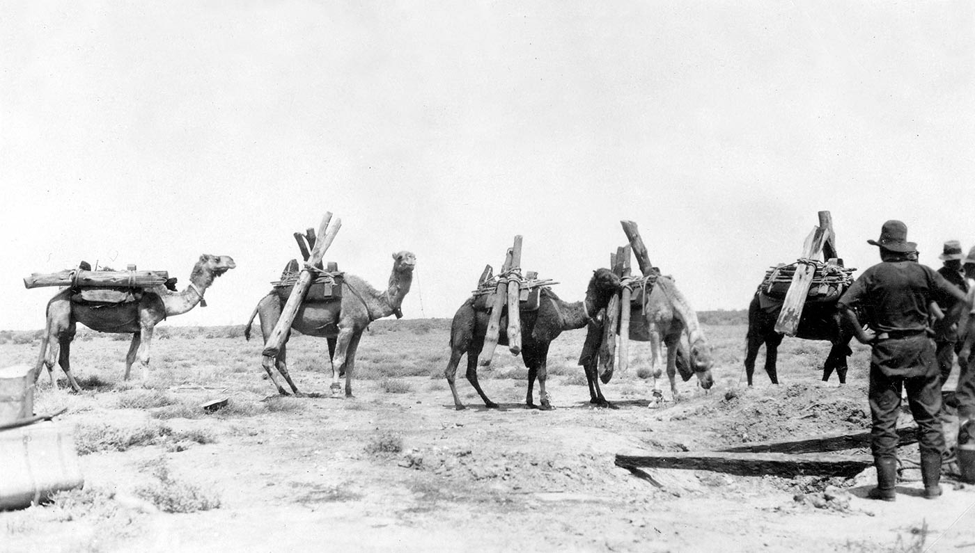 Black and white photo of a group of camels carrying logs for construction.