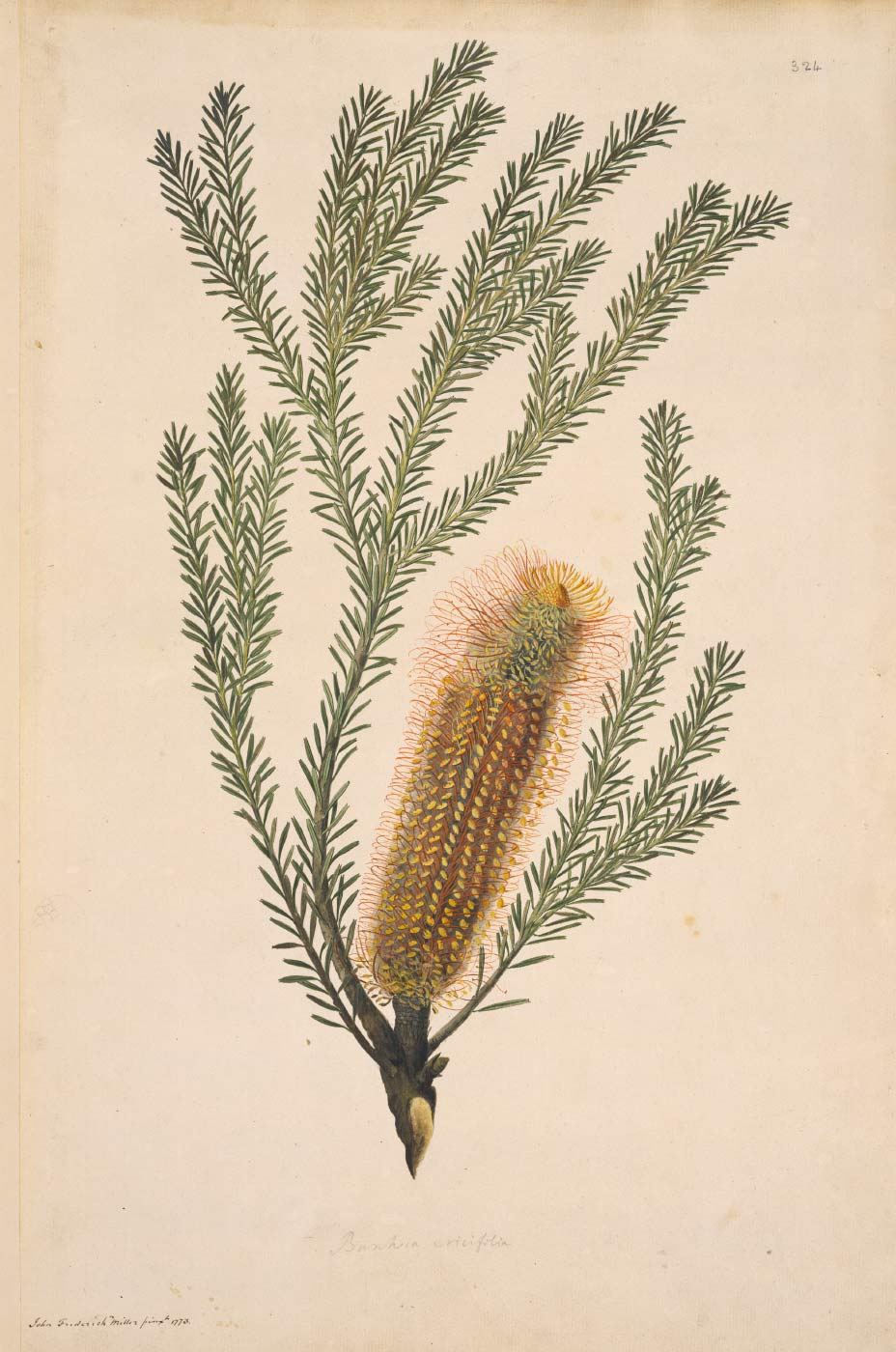 Illustration of a banksia ericifolia. - click to view larger image