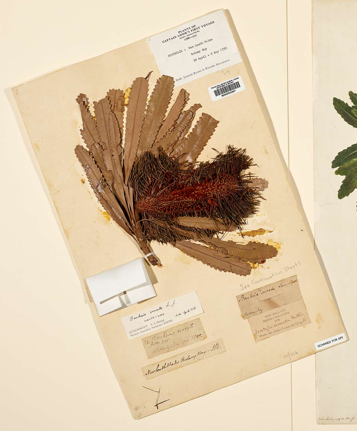 Plant specimen with the label: 'Plants of Captain Cook's First Voyage'. - click to view larger image