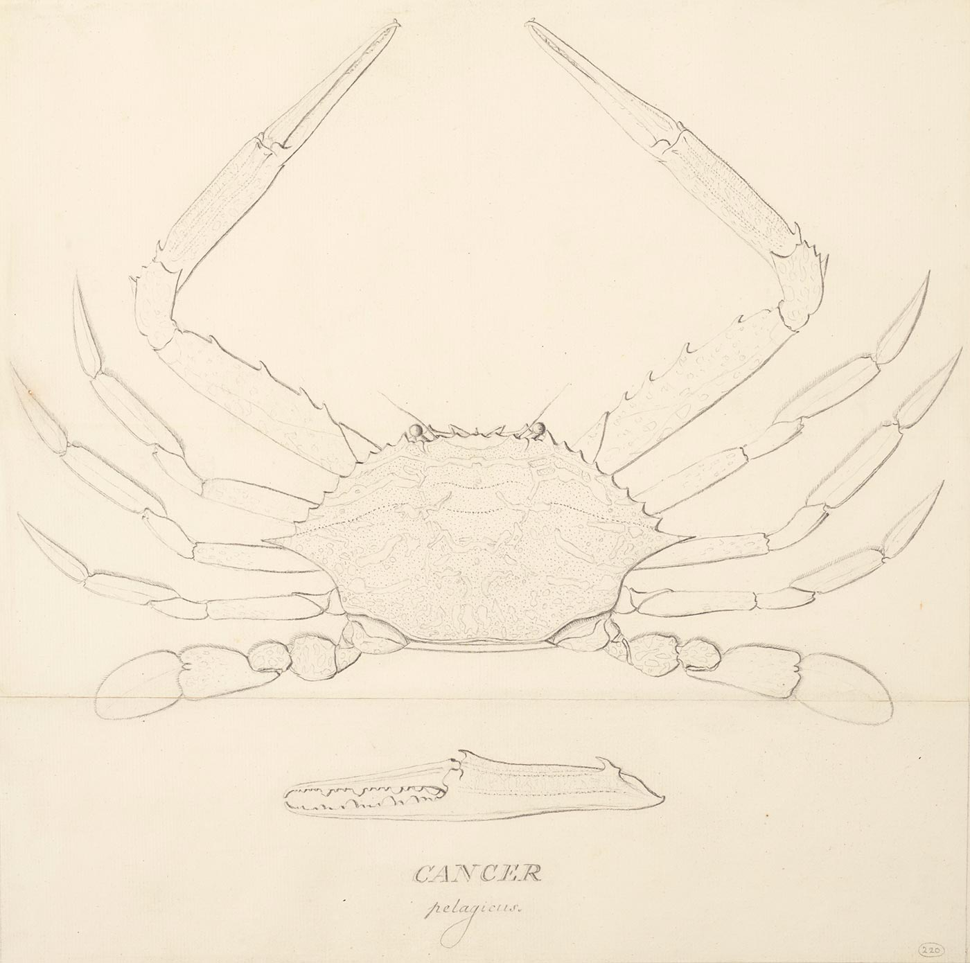 Drawing of a crab with intricate detail particular to its central body. - click to view larger image
