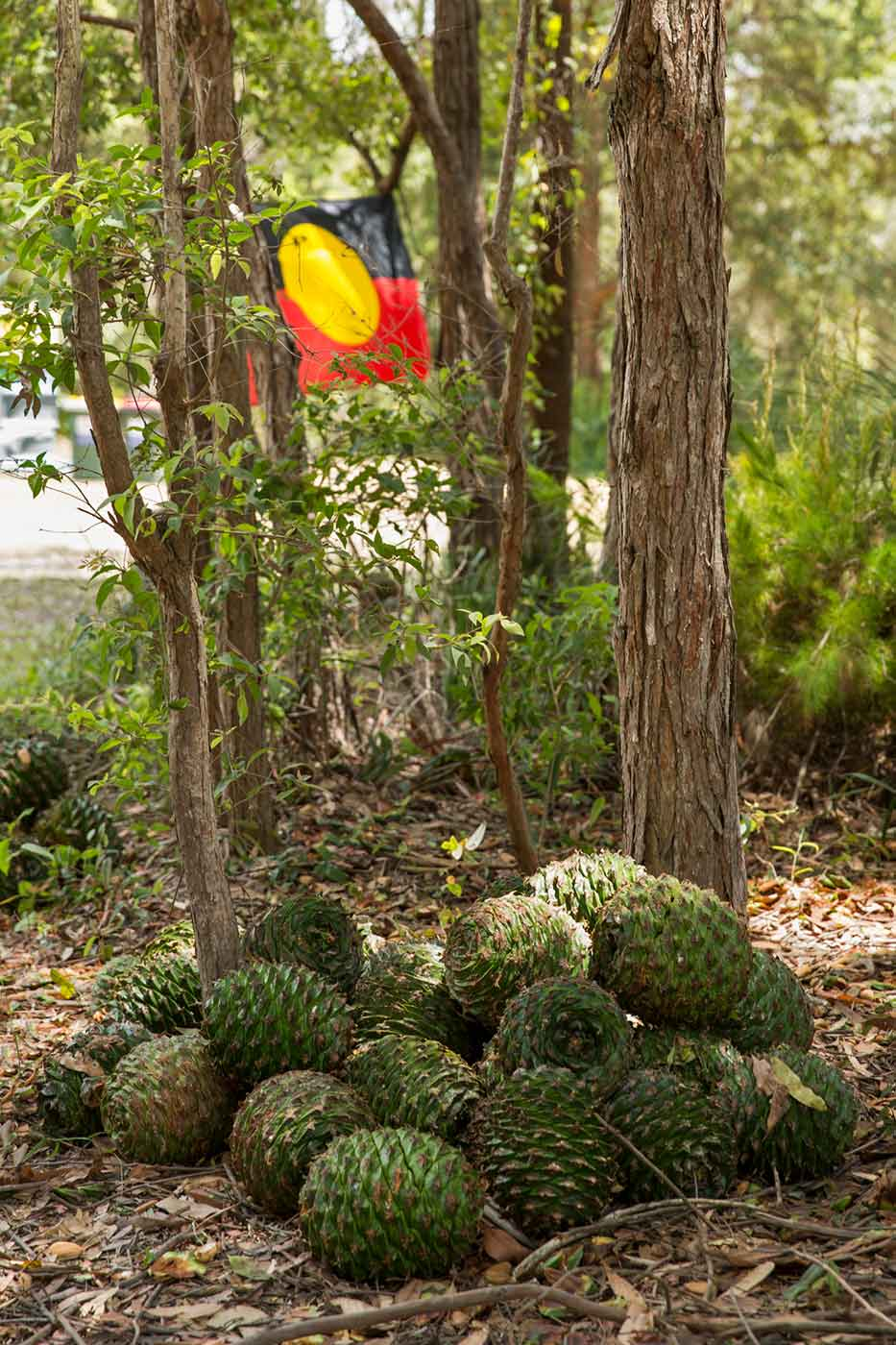 Colour photo of a pile of bunya cones sitting on the ground. There is the Aboriginal flag hanging in the background. - click to view larger image