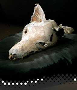 Photo of a mummified head of a thylacine