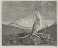 1773 engraving of a kangaroo.