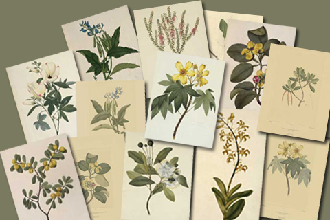 Collage of plates from Banks' Florilegium.