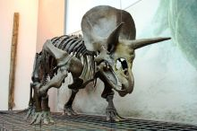 Reconstruction of a dinosaur skeleton on show in a gallery space. Two large horns and one smaller horn protrude from the dinosaur's head.