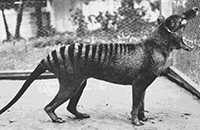 Extinction of Thylacine