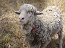 A photo of a sheep