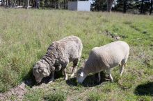 A photo of two sheep in a paddock