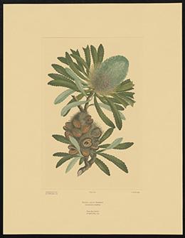 A colour botanical engraving showing