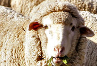 merino sheep